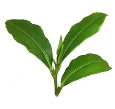 Camellia-Sinensis_Pflanze-Gr%C3%BCner-Tee_Matcha Beneficios del Té Matcha