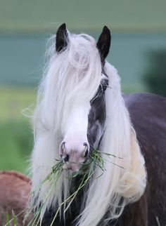 Beautiful Gypsy horse with a mouth full of grass. Beautiful mane.