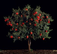 Tal Shochat, 'Pomegranate (Rimon)' in Light from the Middle East: About the Exhibition - Victoria and Albert Museum
