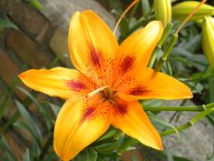 lilies | The season of lilies has begun here in our neck of the woods. And when ...