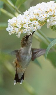 hummingbird | Flickr - Photo Sharing!