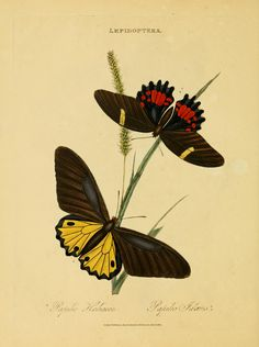 An epitome of the natural history of the insects of India : - Biodiversity Heritage Library