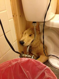 They can sleep anywhere: | 21 Times Golden Retrievers Failed So Hard But Were So Cute It Didn't Matter