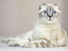 Beautiful Scottish Fold Kitty