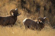 Two Big Horn Sheep near Garden of the Gods in Colorado Springs. Garden of the Gods is a magical place with plenty of great views. Keep an eye out for bighorn sheep.
