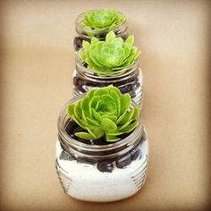 Classic Plants- Succulent Terrarium Trio In Three Vintage Style Jars With White Sand, Black Stones and Tree Rossets on Etsy, $23.00