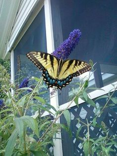 My favorite butterfly the swallow tail