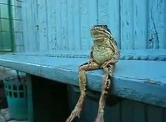 Video of frog sitting on a bench like a human. Too cute Funny Frogs, Cute Frogs, Best Motorbike, Frog Sitting, Anima Mundi, Dock Of The Bay, Tough Day, Frog And Toad, Guys Be Like