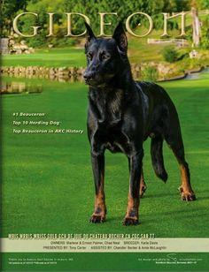 Beauceron Puppy for Sale   Beauceron Breeder - Joie De Vie Beaucerons