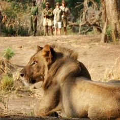 Characterised by its rugged terrain which is home to diverse wildlife, Zambia offers fantastic game viewing as well as opportunities for water sports. Read more about Zambia and explore CAT's luxury Crafted holidays and discounted deals >> Water Sports, Canoe, Safari, National Parks, Wildlife, Male Lion, African, Explore, Adventure