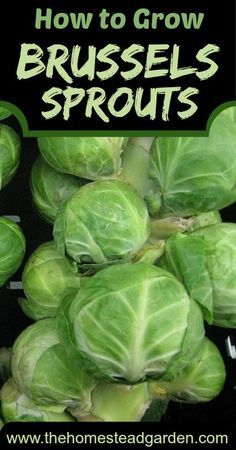 How to grow brussel spouts. Fancy growing your own vegetables at home? Here's a great place to get started...