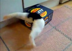 Funny cat video -- cat will not give up until he squeezes into this box. Maru would be so proud.