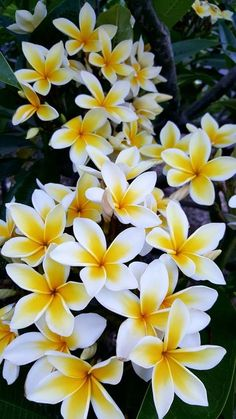 Celadine aka Common cream Common Yellow Graveyard Yellow Yellow Huevos Hawaiian Yellow Most classical Plumeria cultivar Bright yellow flowers around broad white. Flowers Nature, Amazing Flowers, My Flower, Pretty Flowers, Yellow Flowers, Flower Pots, Images Of Flowers, Flower Pictures, Spring Flowers