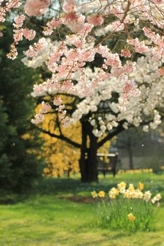 Cherry blossoms and daffs - nothing says Spring quite as well as this sight!