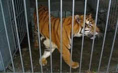 "PETITION! Free Tony Tiger from ""Tiger Truck Stop! Please SIGN & SHARE!"