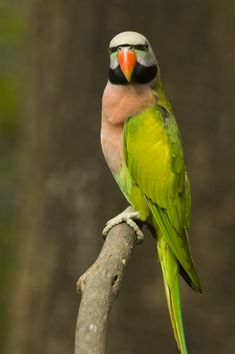 A fabulous Moustache Parakeet Parrot. =https://acasadomago.wordpress.com/