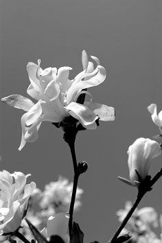 magnolia   Morgaen Muñoz