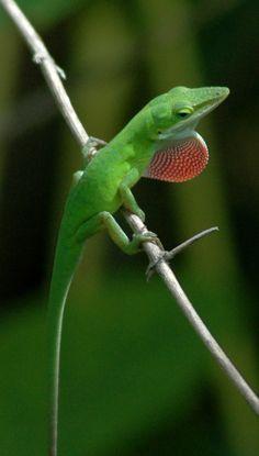 36c044787c0ae 42 Best green alonle images in 2018 | Reptiles, Amphibians, Animals
