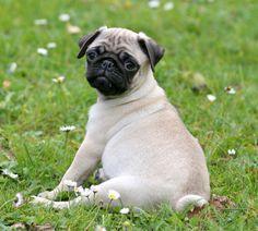 Pug Temperament and Behavior   Pet Research