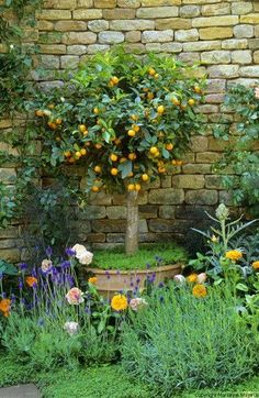 Standard Lemon Tree | Centre piece of  Lemon Scented Garden