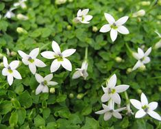 A mat forming perennial that only grows to about 1.5cms in height and will spread to indeterminate width by taking root at the nodes. This is a ground hugging plant that has with tiny, rounded dark green leaves. Blue/white, star-shaped flowers are borne in abundance from spring to early summer and they almost cover the foliage with flowers. It looks great planted around pavers or stepping-stones.  This plant can become invasive, so keep an eye on it.  Moist to wet soils with high fertility.