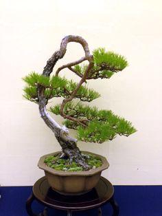 RK:2013-第31回日本盆栽大観展ー赤松 akamatsu