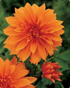 """Dinner plate """"Babylon Bronze"""" dahlia from www.dutchbulbs.com  would look really good next to red and orange canna lillies"""