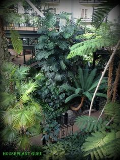 Monstera smothering a pillar at the Opryland Hotel