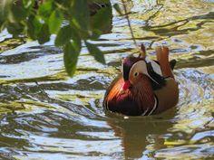 Aix Galericulata, Animal Kingdom, Bird, Mandarin Duck, Everything, Animals, Paintings, Nature, Birds