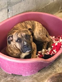TIGER is an adoptable Dog - Boxer Mix searching for a forever family near Wasco, CA. Use Petfinder to find adoptable pets in your area.