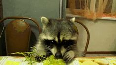 Raccoons Love Juicy Grapes! i'm in love <3