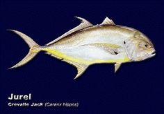 JUREL (Caranx hippos)-40 cms-Hocico plano. Manchas negras en opárculos y aleta pélvica. Parte del pecho sin escamas. Aleta caudal bifurcada y amarilla.