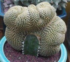 Euphorbia piscidermis