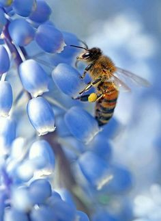 HoneyBee working. #Honey #Bee extracts nectar from a flower as pollen grains stick to its body