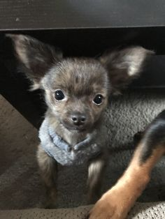 You're a Doll! Tiny Puppies, Puppies And Kitties, Cute Puppies, Doggies, Cute Dogs, Chihuahua Puppies, Chihuahuas, Chiwawa, Cute Dog Photos