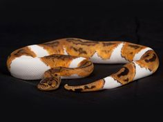 Pied clown ball python - photo#31