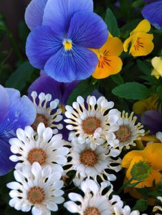BLUE AND WHITE: Pansies and Osteospermum Flowers in a Garden, Belmont, Massachusetts, USA