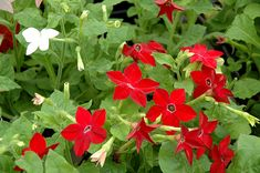 Click to view full-size photo of Saratoga Mix Flowering Tobacco (Nicotiana 'Saratoga Mix') at Dutch Growers Garden Centre