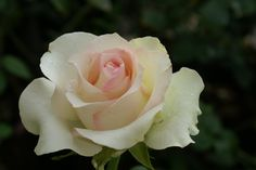 Eunice School | Ludwigs Roses | Unusual, clusters of perfect hybrid tea blooms of a white cream colour with a touch of pink in the centre. These make long lasting cut flowers. As it grows vigorously to medium height, the bush responds well to extra care.
