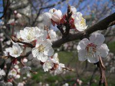 Blossom spring