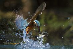 Kingfisher male in hunting