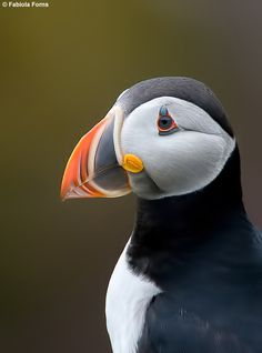 Even though I am terrified of birds, I am going on a tour to see these Puffins in Newfoundland Nature Animals, Animals And Pets, Cute Animals, Sea Birds, Wild Birds, Beautiful Birds, Animals Beautiful, Puffins Bird, Newfoundland And Labrador