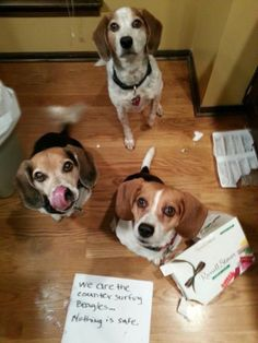 """""""We are counter surfing beagles… Nothing is safe"""" (The Singing Beagles; Montana, Sweetie & Claire) #beaglefunny #beagledog Art Beagle, Beagle Funny, Beagle Dog, Funny Dogs, Pet Dogs, Dog Cat, Dachshund, Dog Shaming, Adoptable Beagle"""