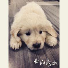 Premier jour de #Wilson à la maison. #GoldenRetriever #Dog #Puppy #Chien #Chiot