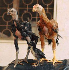 Rooster World #Rooster #Chicks #Asil Cute Baby Animals, Animals And Pets, Funny Animals, Chickens And Roosters, Pet Chickens, Beautiful Chickens, Beautiful Birds, Rooster Breeds, Weird Birds