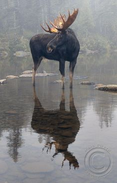 Moose ........................................................ Please save this pin... ........................................................... Because For Real Estate Investing... Visit Now! http://www.OwnItLand.com