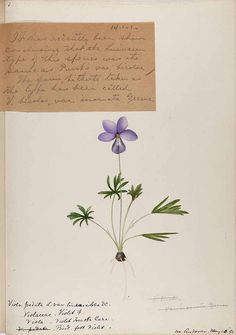 206266 Viola pedata L. var. lineariloba / Sharp, Helen, Water-color sketches of American plants, especially New England,  (1888-1910) [Helen Sharp]