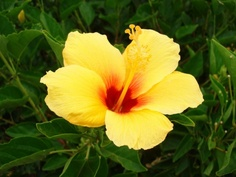 Yellow Hibiscus. Hawaii state flower. 3/09.