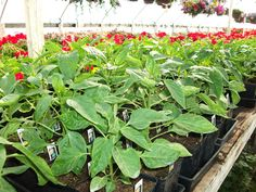 We offer boxes of bedding plants of seasonal favorites in large quantities. Summer Months, Hanging Baskets, Lush, Photo Galleries, Bedding, Boxes, Yard, Patio, Seasons