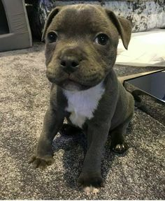 PitBull Best dog ever ❌⭕